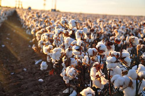 Piantagione di cotone